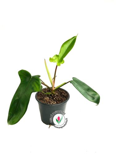 Philodendron 'Florida' P12*