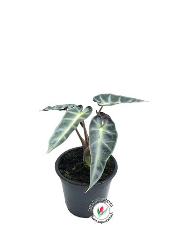 Alokasia 'Bambino Arrow' P12*, kotimainen